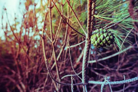 Close-up op een dennenappel op een tak van een dennenbos op een conifeer in Sardinië Stockfoto - 64614483