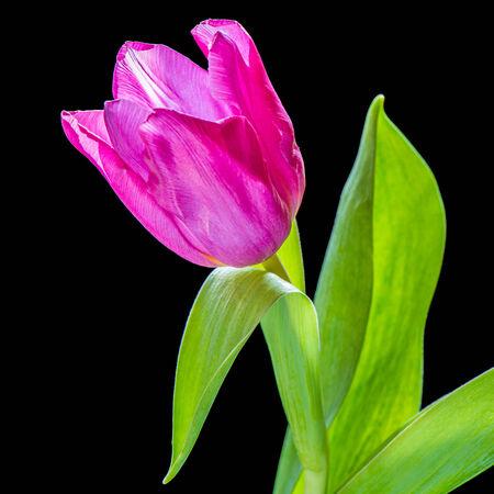 Purple tulip photo
