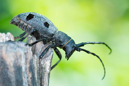 long horn beetle: Forest beetle (Morimus funereus) close up.