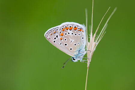 polyommatus icarus: Beautiful butterfly on green background. Common Blue (Polyommatus icarus) butterfly. Stock Photo