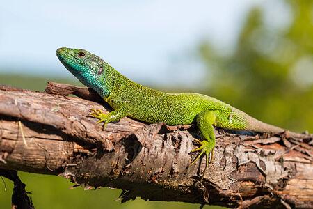 lacerta viridis: European green lizard. Lacerta viridis.