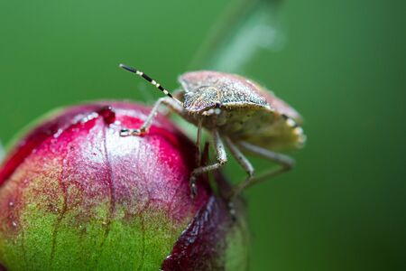 green shield bug: Brown stink bug on flower bud.