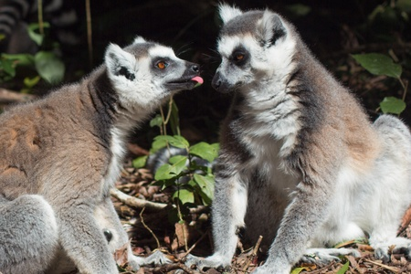 ring tailed: Ring Tailed Lemurs together Stock Photo