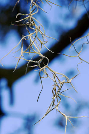 shadowed: Spanish moss hanging from a shadowed tree on a bright blue sky