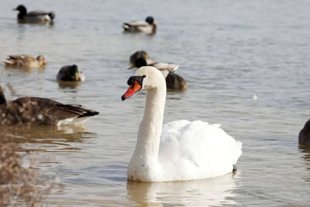 A mute swan swimming in a Kentucky pond along with ducks and geese in the winter.
