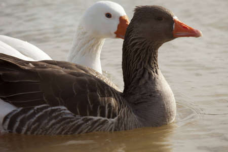 though: Two domestic geese swimming in a kentucky pond during the winter. Looks as though one is whispering secret in the others ear.