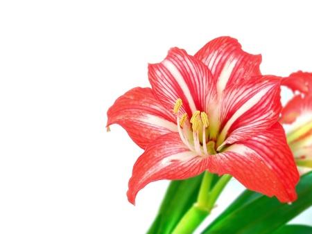 hippeastrum flower: Beautiful hippeastrum flower isolated on white Stock Photo