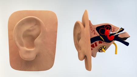 meatus: Inner Ear, 3d Stock Photo