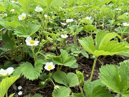 Strawberry sprouts. Flowering strawberry bushes in the garden. The beginning of the strawberry season