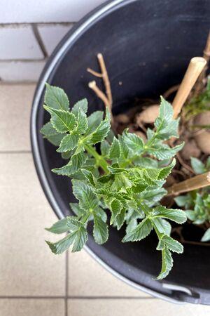 Dahlia flower seedlings for transplanting in a black bucket, close up