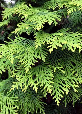 Closeup of Beautiful green leaves of Thuja trees. Thuja occidentalis is an evergreen coniferous tree. Platycladus orientalis, also known as Chinese thuja.