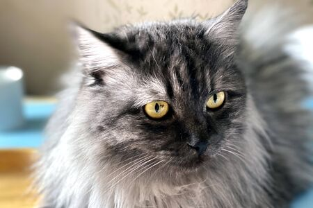 Lazy day. Close-up portrait of a lovely pet: gray longhair cat lay on a bed.