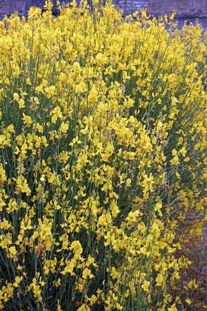 fabaceae: Flowering Spanish broom in summer