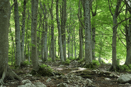 apennines: Green forest of mature beech trees on Apennines mountains