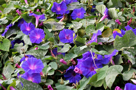 convolvulaceae: blue morning glory