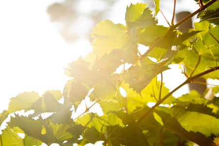 backlight: Vine leaves over a backlight background