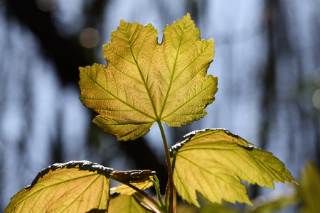 aceraceae: Acer pseudoplatanus young leaves Stock Photo