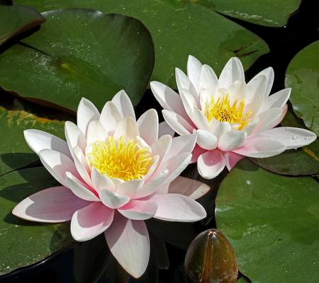 waterlily: Waterlily flowers Stock Photo