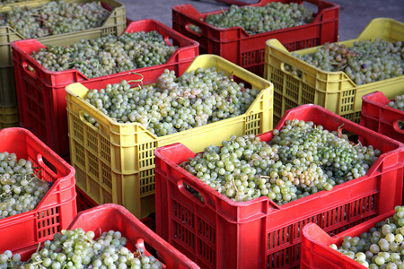 winemaking: GRAPES READY FOR WINEMAKING