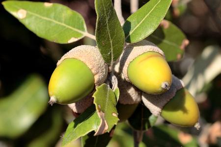 fagaceae: Holm oak fruits