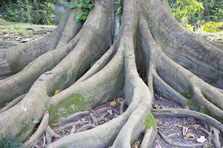 strangler: Roots of the strangler fig Ficus macrophylla also known as Ficus magnolioides Stock Photo
