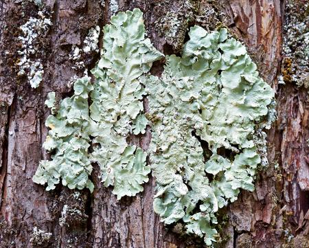 belonging: Foliose lichen belonging to Parmelia genus on coniferous bark
