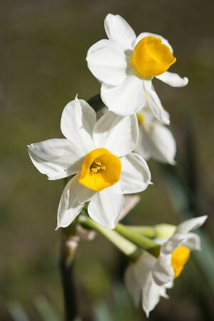Narcissus tazetta, paperwhite ,is a perennial plant with white flowers white with a yellow corona.