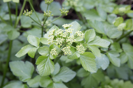 Smyrnium olusatrum, common name Alexanders or horse parsley, is a flowering plant, belonging to the family Apiaceae