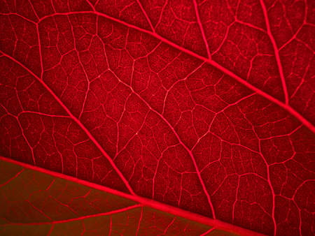 back lit: red back lit leaf ribs