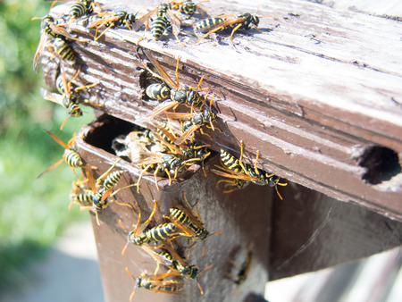 abdomen yellow jacket: hornet nest and hornets Stock Photo