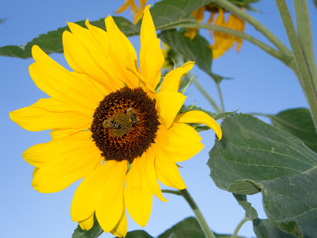 pollinators: bees at work and sunflower