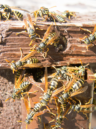 abdomen yellow jacket: hornet nest and fuzzy hornets Stock Photo