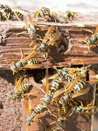 hornet nest and fuzzy hornets Stock Photo