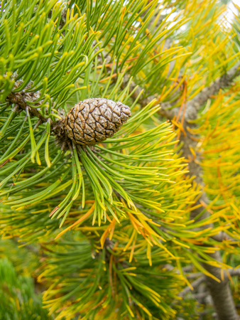 pinaceae: single pine cone on a fig branch Stock Photo