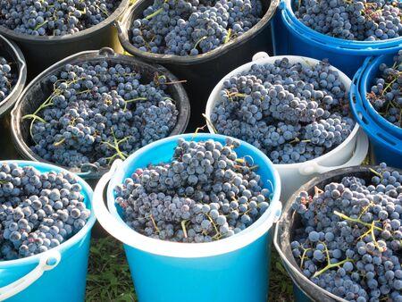 raisins de récolte d'automne prêt à être pressé