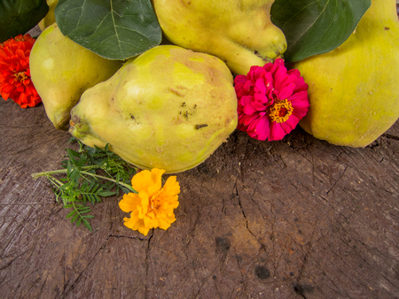 quinces: heap of fresh harvested ripe quinces