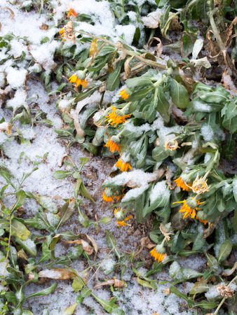 freeze dried: withered flowers covered with fresh snow