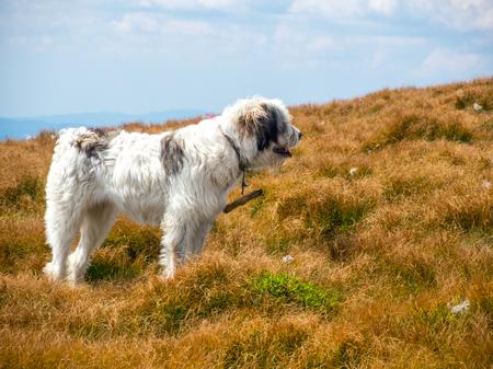 herding: large herding dog looking ahead