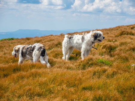 sheepdogs: two sheepdogs in the meadow