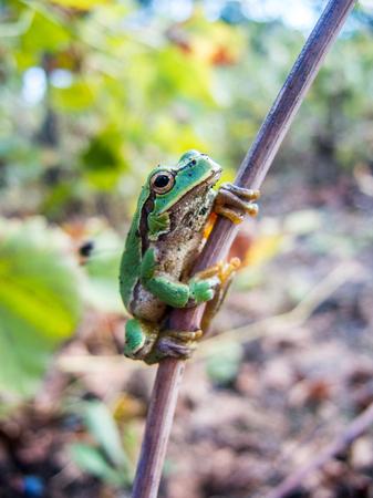 green frog: little garden green frog in the vineyard