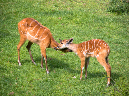 tanzania antelope: sitatunga antelope and baby antelope on the green grass at the zoo