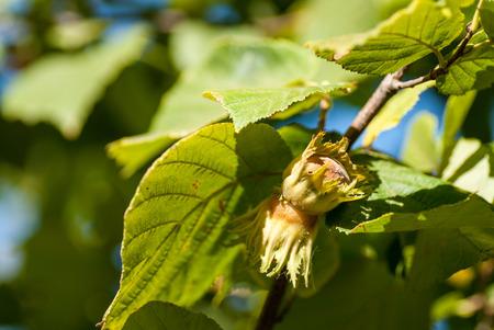 ripe hazelnuts on a branch autumn harvesting season concept