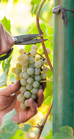 man hand harvesting ripe delicious grape bunch in the vineyard autumn crop concept