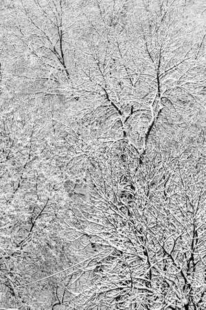 black and white photo of snowy trees