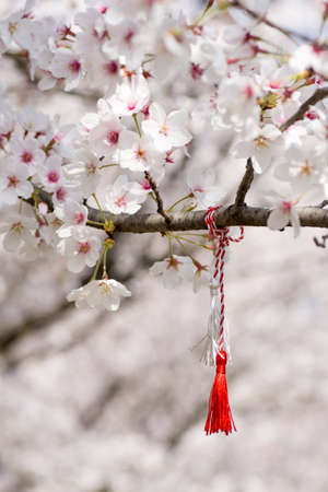 red and white string know as martisor romanian eastern european first of march tradition hanging on a blossom cherry branch