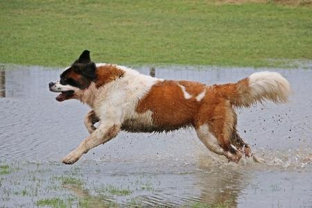 saint bernard have fun in water Stock Photo