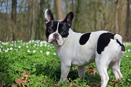 offers French bulldog in forest