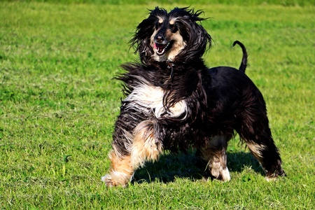 Walking afghan hound
