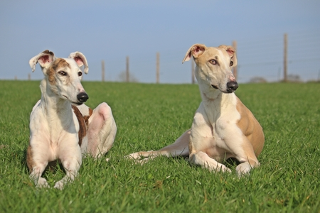 greyhound: Windhounds on a meadow