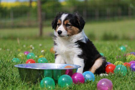 Border collie puppy is sitting in the garden